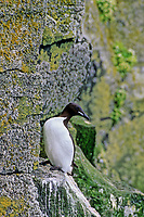 Common murre on cliff, St. Paul Island, Pribilof Islands, Alaska.