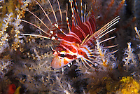The Hawaiian Lionfish (Pterois sphex),here around snowflake coral is a beautiful reef fish, but has venomous dorsal spines so look but don't touch.Hawaiian name is Nohu Pinao,named after the dragonfly.It is endemic to the Hawaiian islands.