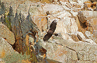 Spanish Imperial Eagle - Aquila adalberti - Adult in flight