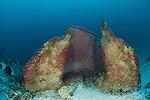 Massive barrel sponge. Misool, Raja Ampat, West Papua, Indonesia,  January 2010
