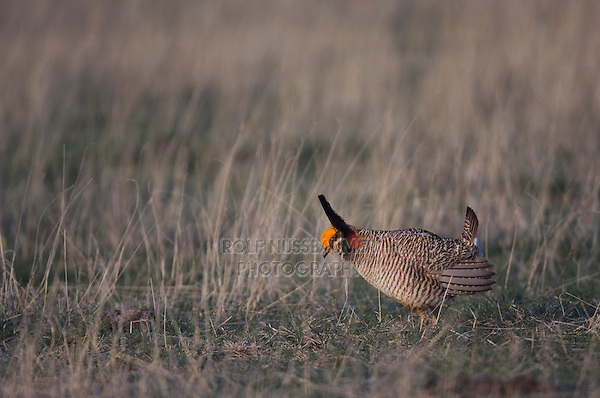 Lesser Prairie-Chicken, Tympanuchus pallidicinctus, male on lek displaying, Canadian, Panhandle, Texas, USA, February 2006