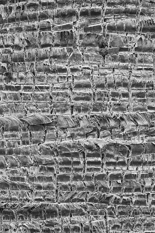 Close up of palm tree bark. Palm Desert, California