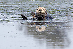 USA, California, Monterey, , Elkhorn Slough, sea otter (Enhydra lutris)