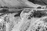 Atlantic Salmon running into Laxa in Kjos river, Iceland.