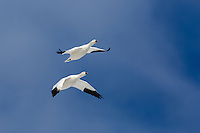 Snow Geese in Flight at Bosque del Apache, New Mexico
