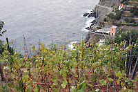 Vigneti lungo la costa delle Cinque Terre.<br /> Vineyards along the coast of the Cinque Terre.<br /> UPDATE IMAGES PRESS/Riccardo De Luca