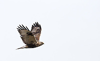 A glimpse of a rough-legged hawk, seen occasionally in winter in the Skagit Valley.