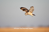 01113-01011 Short-eared Owl (Asio flammeus) in flight at Prairie Ridge State Natural Area, Marion Co., IL