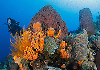 QW41293-D. Scuba diver (model relelased) swims over healthy coral reef with Orange Elephant Ear Sponge (Agelas clathrodes), Golden Crinoids (Davidaster rubiginosa) and Giant Barrel Sponges (Xestospongia muta). Dominica, Caribbean Sea.<br /> Photo Copyright &copy; Brandon Cole. All rights reserved worldwide.  www.brandoncole.com