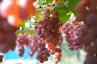 Koshu grapes, Katsunuma, Yamanashi Prefecture, Japan, October 12, 2009.