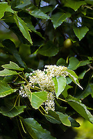 Close-up of a flowering branch of a kukui or candlenut tree (aleurites moluccana), the state  tree of Hawaii. Photographed at Limahuli Gardens, on Kauai's majestic north shore. One of the 5 National Tropical Botanical gardens in the US.