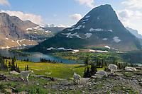 Mountain Goats (Oreamnos americanus) near Hidden Lake and Bearhat Mountain.  Glacier National Park, Montana.  Summer.