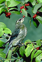 WX01-006z  Cedar Waxwing - immature eating berries - Bombycilla cedrorum