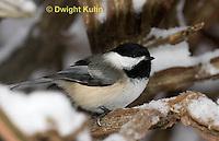 1J04-584z  Black-capped Chickadee, in winter snow,  Poecile atricapillus or Parus atricapillus