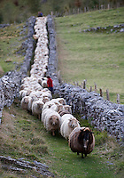 Basque shepherd Inaki Armendariz transhumance ago with his flock of about 600 sheeps from Pagabe in the mountains of Aralar to Arroagaina, near the coastal town of Zumaia, on three days' journey. This shepherd was born in Zaldibia and is one of the few shepherds that transhumance still walking with his flock crossing roads and mountains to his destination in Arroagaina for the winter.<br /> PHOTO: Ander Gillenea