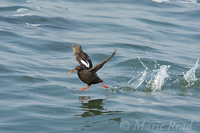 Pigeon Guillemot (Cepphus columba), taking flight from water, carrying a fish, Santa Cruz, California, USA