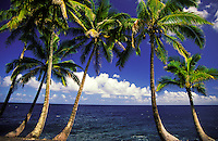 A grouping of gently curving coconut palm trees with a brilliant blue ocean and sky in the background. Shot in Puna on the Big Island of Hawaii.