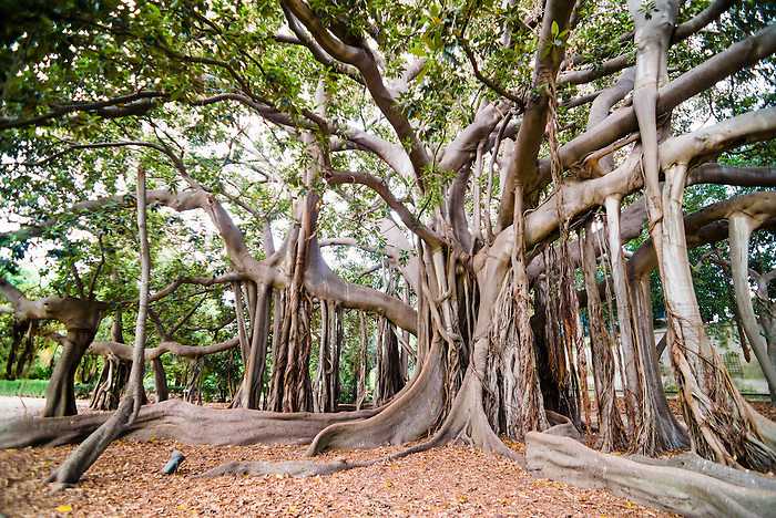 Palermo Botanical Gardens (Orto Botanico), a Moreton Bay Fig Tree (Banyan Tree, Ficus macrophylla), Sicily, Italy, Europe. This is a photo of Palermo Botanical Gardens (Orto Botanico) showing a Moreton Bay Fig Tree (Banyan Tree, Ficus macrophylla), Sicily, Italy, Europe.