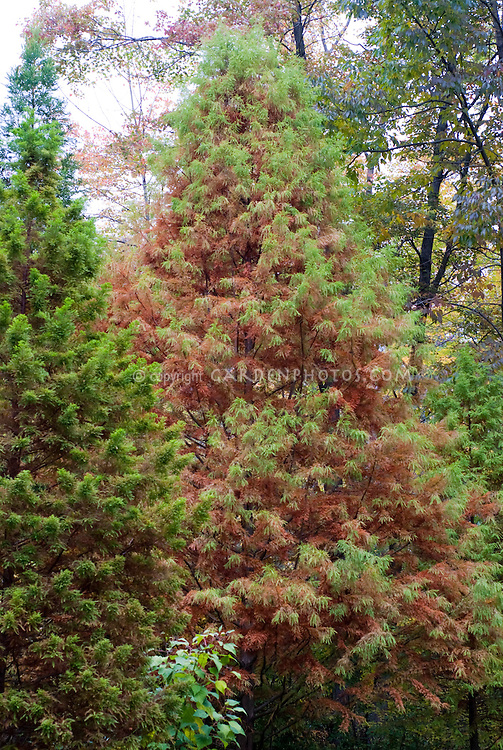 Metasequoia glyptostroboides Dawn Redwood tree in autumn
