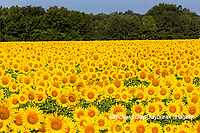63801-07611 Sunflower field Sam Parr State Park Jasper County, IL