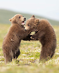 He bit me! Bear cub bites another whilst playfighting by Drew Hamilton