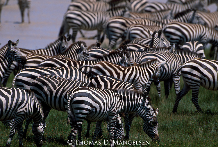A herd of Burchell's zebras graze in Kenya.
