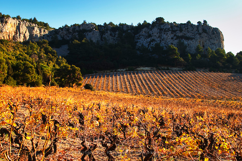 La Clape. Languedoc. Vines trained in Gobelet pruning. Vine leaves. Vineyard. France. Europe. Vineyards below the white limestone cliff.