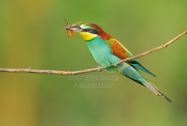 European Bee-eater (Merops apiaster), adult with cockchafer (Melolontha melolontha) prey, Hungary, Europe