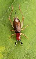 Red-headed Bush Cricket; Phyllopalpus pulchellus; female on milkweed leaf; PA, Bucks Co.