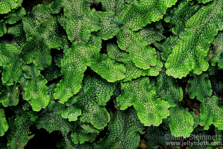 A thallose liverwort, Conocephalum salebrosum (used to be Conocephalum conicum). Hocking County, Ohio, USA.