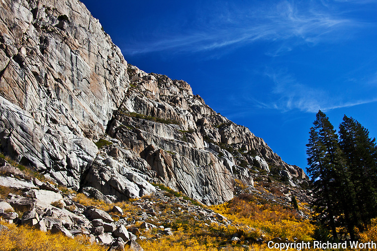 Gray canyon walls tower over a splash of fall's yellow with blue sky overhead and a stand of evergreens to the side, anchoring this autumn scene in the Sierra Nevada Mountains.