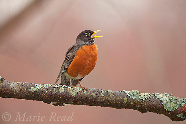 American Robin (Turdus migratorius) male singing in spring, New York, USA