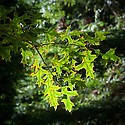 Pin oak (Quercus palustris), late October.