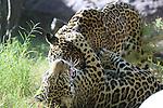 Jaguar cubs play