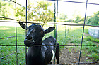Aug, 23, 2013; A resident goat at Tryon Farm in Michigan City, IN. Photo by Barbara Johnston/University of Notre Dame