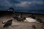 American Black Vulture (Coragyps atratus) group feeding on Green Sea Turtle (Chelonia mydas) carcass, Tortuguero National Park, Costa Rica