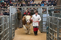 Stirling Bull Sales 2018<br /> A Simmental bull leaves the sale ring at Stirling Bull Sales<br /> &copy;Tim Scrivener Photographer 07850 303986<br /> ....Covering Agriculture In The UK....