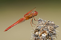 389310012 a wild male flame skimmer dragonfly libellula saturata perches on a dead cholla cactus plant near empire creek las cienegas natural conservation area pima county arizona united states