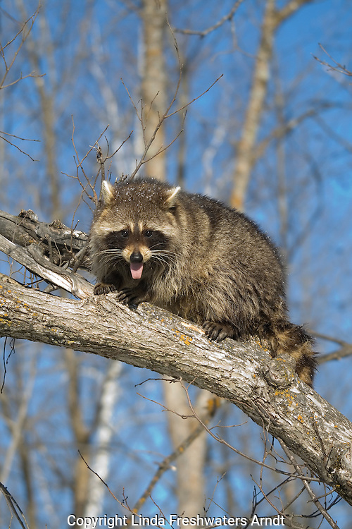 Raccoon (Procyon lotor) sitting on a tree limb
