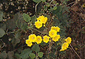 Peru. Cucurbitaceae Sp. Creeper with yellow flowers and spiny fruits.