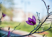 Japanese Magnolia blossom detail at Drill Field.<br /> (photo by Mitch Phillips / &copy; Mississippi State University)