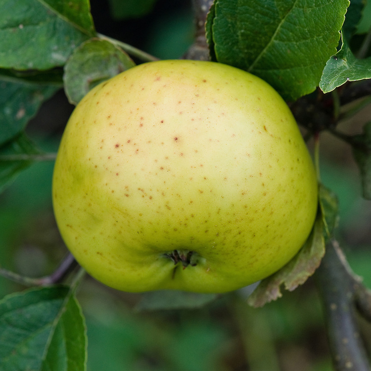 Apple 'Grimoldby Golden', early September. An English coooking apple thought to have been raised in the early 1900s by William Ingall at Grimoldby in Lincolnshire.