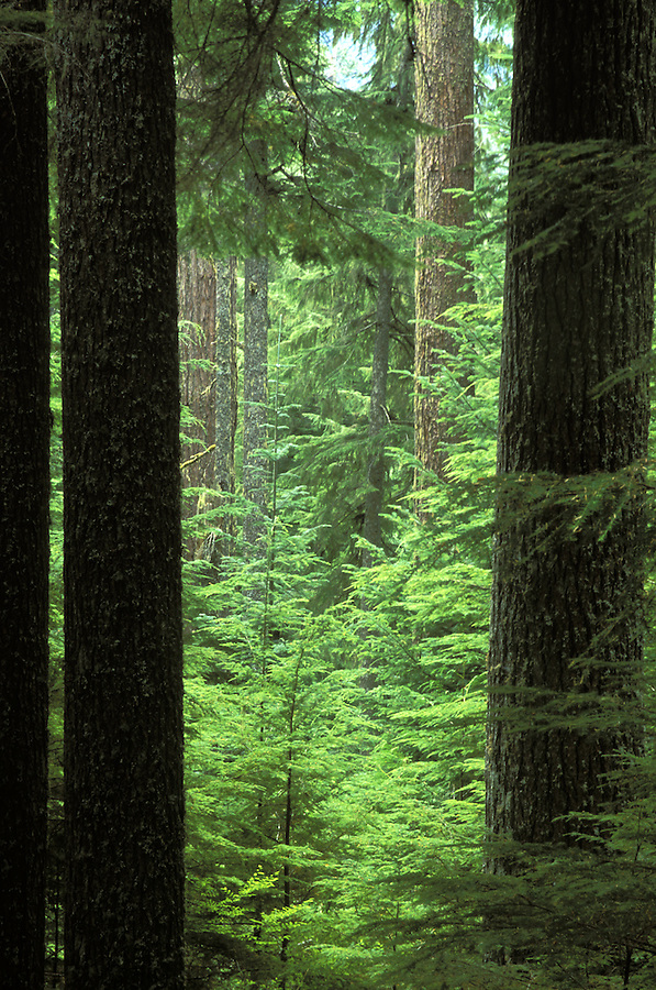 Lookup into old growth forest, Mount Rainier National Park, Washington