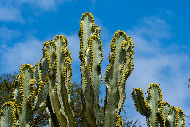 A flowering Euphorbia candelabrum, a succulent species of plant in the Euphorbiaceae family, one of several plants commonly known as candelabra tree in the Lewa Wildlife Conservancy in Kenya.
