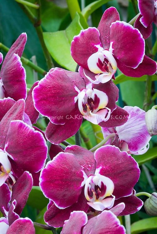 Doritaenopsis Taida Pearl (Ching Hua Spring x Sogo Davis) Taida 2001 orchid hybrid red phalaenopsis type