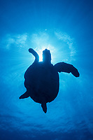 hawksbill turtle silhouette, Eretmochelys imbricata, Rangiroa, French Polynesia, Pacific Ocean
