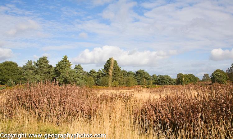 Heathland vegetation in autumn on Sutton Heath, Sandlings heathland, Suffolk, England