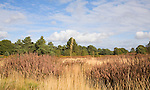 Heathland vegetation in autumn on Sutton Heath, Sandlings heathland, Suffolk, England