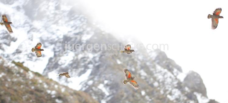 a flock of kea