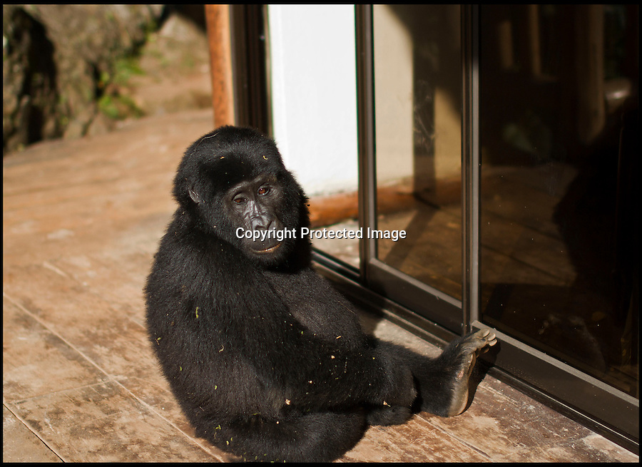 BNPS.co.uk (01202 558833)<br /> Pic: SherryMcKelvie/BNPS<br /> <br /> ***Please Use Full Byline***<br /> <br /> This cheeky monkey stunned visitors to a remote Safari lodge high in the rainforest's of Uganda by hopping up onto a veranda and wandering into a room.<br /> <br /> Instead of visitors having a hot and strenuous trek through the 'Impenetrable forest of Bwindi' to catch a glimpse of the elusive animals this inquisitive young Gorilla clambered up onto the veranda, peered into a room and then sat down to relax in the doorway in front of stunned guests.<br /> <br /> Amateur photographer Sherry McKelvie was visiting a friend at the Engagi Lodge in Uganda, and did not even have a permit to track into the Reserve to look for the iconic gorilla's so was amazed when this inquisitive ape came looking for her.